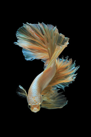 fire fin fighting: Gold siamese fighting fish isolated on black background