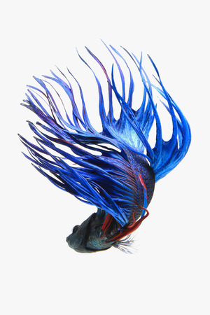 fish isolated: Blue Crown tail betta fish isolated on white background. Stock Photo