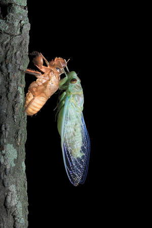 emerged: A cicada freshly emerged from its