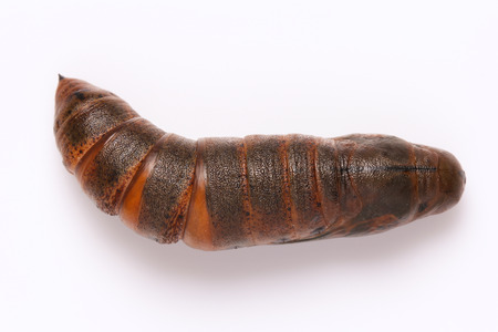 pupa: Moth pupa on white background