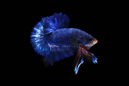 blue fish: Blue betta fish isolated on black background. Stock Photo
