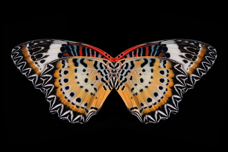 lacewing: Concept design. Butterfly wings (The Leopard Lacewing) isolated on black background.
