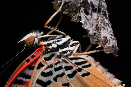 lacewing: Close-up. Butterfly  (The Leopard Lacewing) isolated on black background.