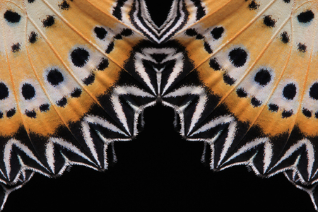 Concept de design. ailes de papillon (The Leopard Lacewing) isolé sur fond noir.