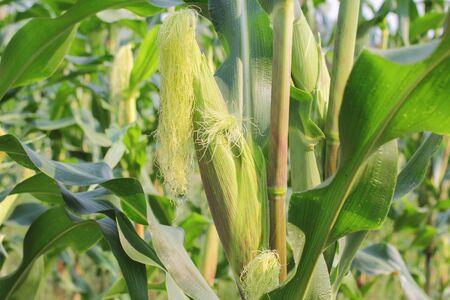 Corn field and corn on the cob. Reklamní fotografie