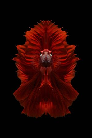 Concept design.Red siamese fighting fish isolated on black background.