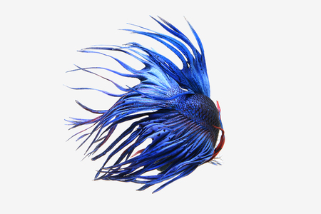 Blue Crown tail betta fish isolated on white background. Stock Photo