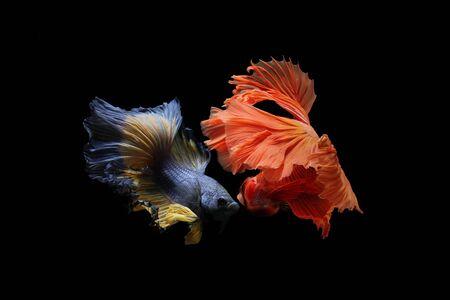Fighting style of Betta fish. The Graceful Movements of betta fish Thailand. Reklamní fotografie