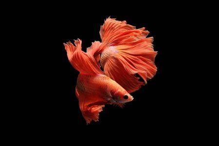 Orange siamese fighting fish isolated on black background.