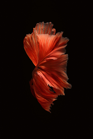 Red betta fish isolated on white background.