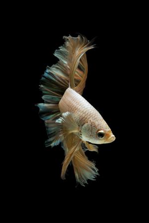 Betta fish gold dragon on black background.