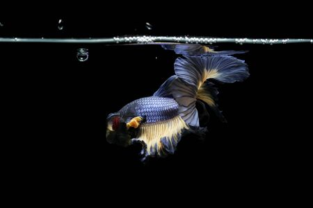 The Graceful Movements of betta fish Thailand.