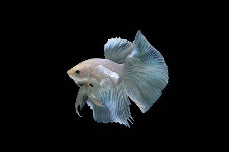 white betta fish isolated on black background. (Thai betta's)