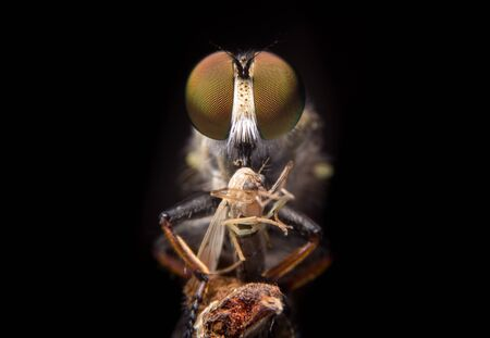 Close up robber fly as it eats the mosquito on black background. Reklamní fotografie