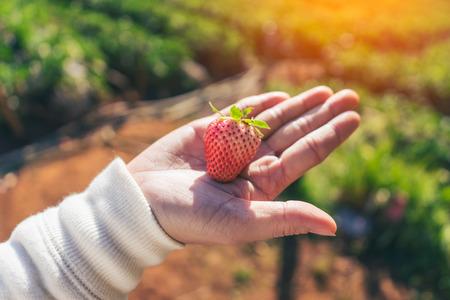 女人少許,或在花園裡拿著美味的紅色新鮮草莓 版權商用圖片