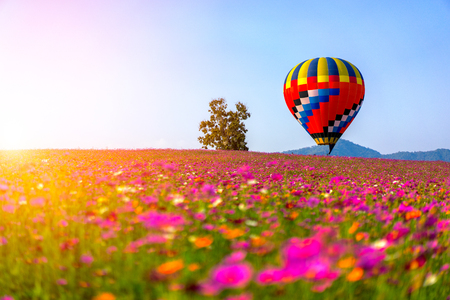 Landscape of beautiful cosmos flower field and hot air balloon on sky sunset