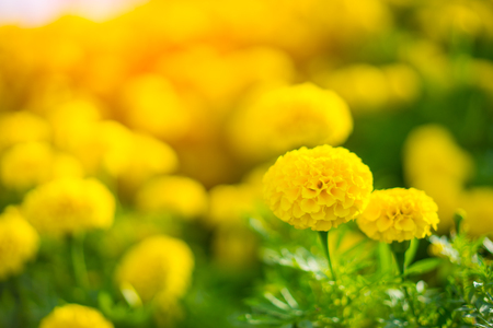 Beautiful Marigold Yellow flower, Colorful of marigolds on the plantation 版權商用圖片