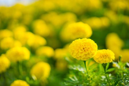 Красивая мордашка Желтый цветок, Цветной ноготки на плантации