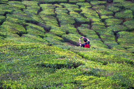 Young asian backpacker traveling into tea fields with mist. Young man traveler take a photo of mountain tea field with foggy, Enjoying tea plantations in Cameron Highlands near Kuala lumpur Malaysia Фото со стока