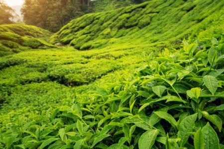 Landscape of tea plantation on mountains at Cameron Highlands with mist at sunrise near Kuala Lumpur, Malaysia.