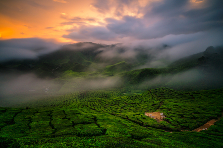 Landscape of tea plantation on mountains at Cameron Highlands with mist at sunset near Kuala Lumpur, Malaysia.