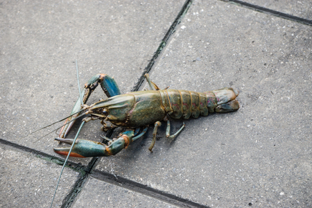 Crayfish Lobster escape from Pet Shop