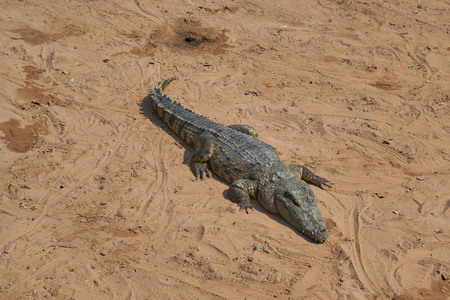 expects: Crocodile on a brown sand expects production Stock Photo