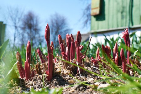 dacha: sprouts flowers on the dacha sprout under the spring sun Stock Photo