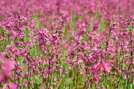 angustifolium: Pink flowers of fireweed (Chamerion angustifolium)
