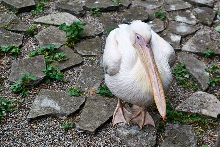 beak: Sad white Pelican with a pink beak sits