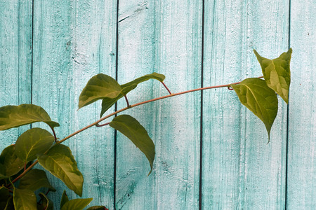 far eastern: Sprig of Far Eastern Schisandra chinensis on old blue wooden background. Closeup.