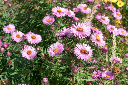 pink Astra flowers in the autumn garden.Group of Alpine asters. Stock Photo