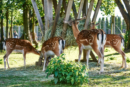 deer eating grass together Stock Photo
