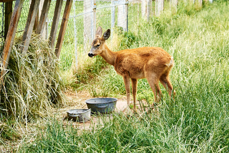 European roe deer (Capreolus capreolus) eating grass