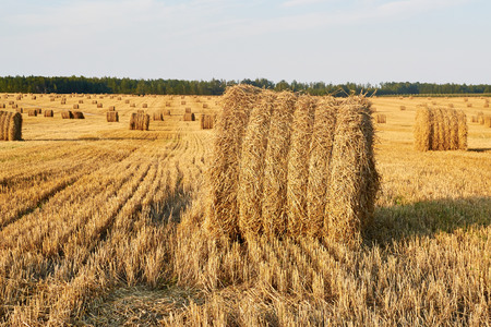 Bales of straw harvested in levels against the blue sky