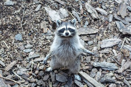Raccoon Procyon lotor asking for food at the zoo. Funny raccoons. Stockfoto