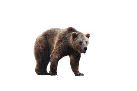 Gros ours brun isolé sur fond blanc.