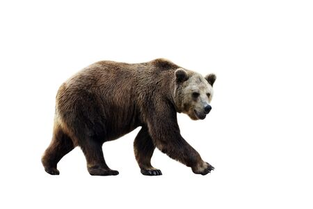 Gran oso pardo aislado sobre fondo blanco.