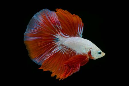 fish: Siamese fighting fish Stock Photo