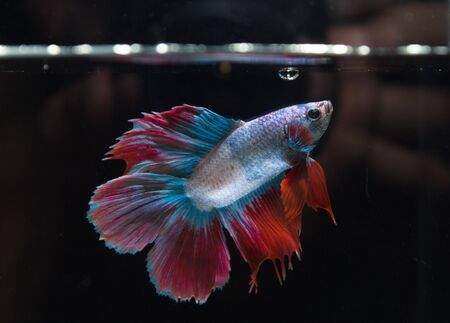 blue fish: Beautiful color red and blue fighting fish Stock Photo