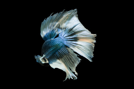 blue fish: The movement of blue fighting fish.