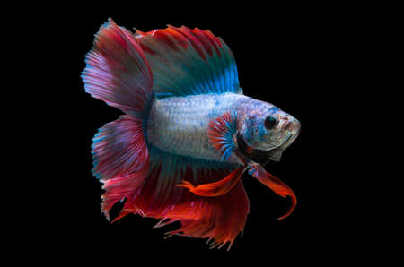 capture the moment: Capture the moving moment of white siamese fighting fish isolated on black background