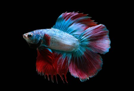 capture the moment: Capture the moving moment of red-blue siamese fighting fish isolated on black background Stock Photo