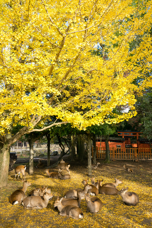 Nara's deer with Autumn leaves.This park is home to hundreds of freely roaming deer.