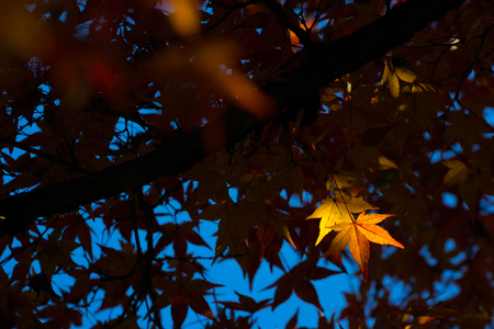 Autumn leaves in Japan. Autumn is one of the most famous seasons to travel in Japan.