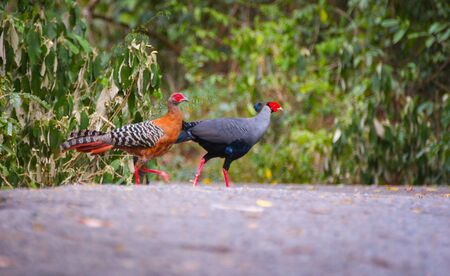 phasianidae: Siamese fireback Stock Photo