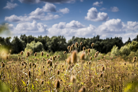Field of teasels (Dipsacus fullonum) on a bright sunny day, with trees in the background and a blue sky with fluffy clouds. Shot with a shallow depth of field and selective focus.