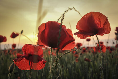 Close up of three poppies, standing to attention and looking over a poppy field in a summer meadow as the sun sets in the distance