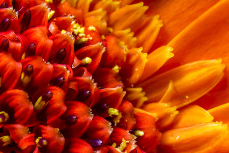 Vibrant orange Chrysanthemum flower head and petals, close up macro showing pollen. Imagens
