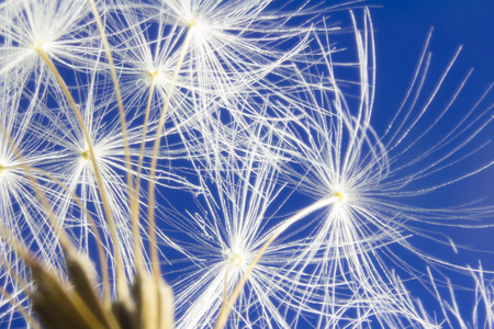 Close up of dandelion head clock seeds. Some seeds are missing and have been blown away.